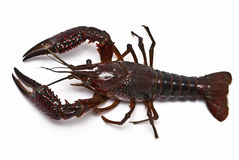 Aerial view of a crayfish. Stock Photos