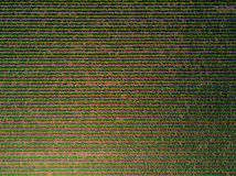 Aerial view of cultivated sugar beet field. Top view of root crop as abstract organic natural texture Stock Photography