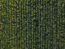 Aerial view of cultivated sweetcorn plantation, top view. From drone pov stock image
