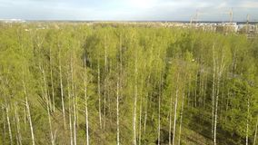 Aerial view from drone on the birch wood in the summer sunny day.  stock video