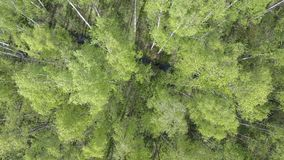 Aerial view from drone on the birch wood in the summer sunny day.  stock footage