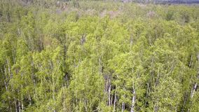 Aerial view from drone on the birch wood in the summer sunny day.  stock video footage