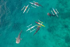 Aerial view from the drone. Fishermen feed gigantic whale sharks Rhincodon typus from boats in the sea in the Philippines,. Oslob... These sharks have no teeth royalty free stock image