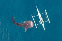 Aerial view from the drone. Fishermen feed gigantic whale sharks Rhincodon typus from boats in the sea in the Philippines,. Oslob... These sharks have no teeth royalty free stock photography