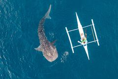 Aerial view from the drone. Fishermen feed gigantic whale sharks Rhincodon typus from boats in the sea in the Philippines,. Oslob... These sharks have no teeth royalty free stock images