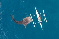 Aerial view from the drone. Fishermen feed gigantic whale sharks Rhincodon typus from boats in the sea in the Philippines,. Oslob... These sharks have no teeth stock photos