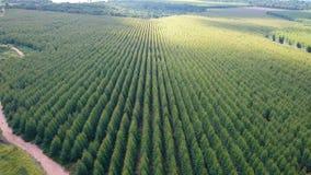 Aerial View Of Eucalyptus Plantation stock video