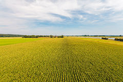 Aerial view of a farm field with rows of corn plants Royalty Free Stock Image