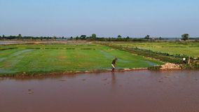Aerial view of farmer walking along a paddy in Asia, with muddy water in foreground. And rice field in back. Camera lifts away to reveal greater rice fields stock video