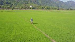 Aerial View Farmer Walks on Path among Rice Fields against Hills. NHA TRANG, KHANH HOA/VIETNAM - JUNE 20 2017: Aerial view Vietnamese farmer walks on path among stock video footage