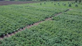 Aerial view of farmland. Clip. Top view of green fields and vegetation. Field of seedlings on the agricultural industry.  stock photo