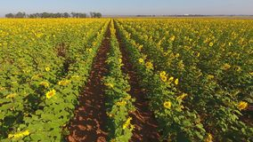 Aerial view of a field of sunflowers stock footage