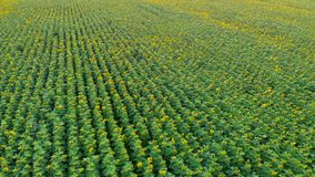 Aerial View. Flight over the sunflower field. Sunflower swaying in the wind.Beautiful fields with sunflowers in the stock video footage
