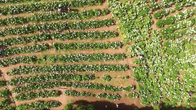 Aerial view of flower gardens arranged in rows