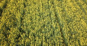 Aerial view of the flowering rapeseed field stock video footage