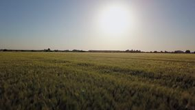 Aerial view:Flying over the green field on a background of beautiful blue sky with clouds.Barley field in sunset time. Field of rye and sunny day.Aerial:Field stock video