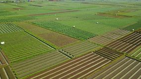 Aerial view footages of red onion farmland. Beautiful aerial view footages of red onion farmland with green leaves and rows of water irrigation in Brebes stock video footage