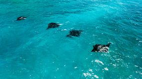 Aerial view of Manta rays swimming. Aerial view of four Manta rays swimming along Nusa Penida coast, near Bali stock photography