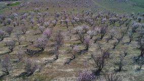 Aerial view of fruit bare trees or shrubs on a large field in early spring in sunny day. Shot. Picturesque countryside. Aerial view of fruit bare trees or shrubs stock photo