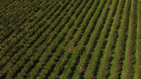 Aerial view of fruits orchard. Farmland. Rows of apple trees. Aerial Drone 4K, zoom in with tilt down technique