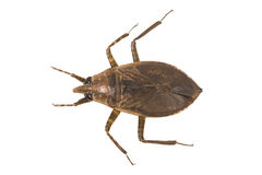 Giant Water Bug. Aerial view of a Giant Water Bug (Belostoma Elongatum), isolated over white, with clipping path royalty free stock image