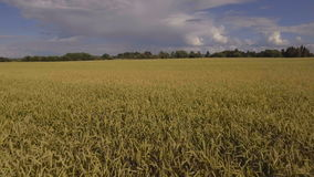 Aerial view of golden wheat field.Aerial video. stock video footage