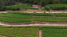 Aerial view of grape fields, flying at vineyards in the mountains of northern Italy. Summer day. Concept of production of mountain stock video