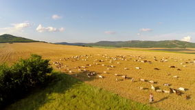 Aerial view of grazing animals on fertile land. Aerial view of grazing farm animals on fertile land stock video footage