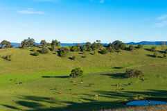 Aerial view of grazing cows on green paddock, pasture Stock Image