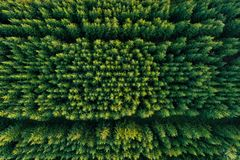Aerial view of green coniferous forest plantations royalty free stock photos