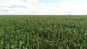 Aerial view of a green corn field. The camera flies forward to the horizon low over the cornfield stock video footage