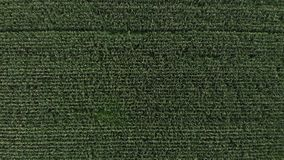 Aerial view of a green corn field. The camera flies up vertically above the corn field stock video footage
