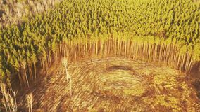 Aerial View Green Pine Forest Deforestation Area Landscape. Top View Of Growing Forest Near Empty Land. European Nature