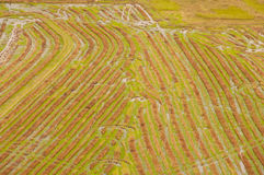 Aerial view of green rice field Royalty Free Stock Image