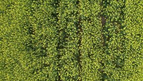 Aerial view of growing blossoming canola field. Straight down view of bright blooming rapeseed field, blossoming yellow canola flowers swaying in wind, drone stock footage