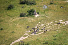 Aerial view of a herd of Blue wildebeest. Royalty Free Stock Image