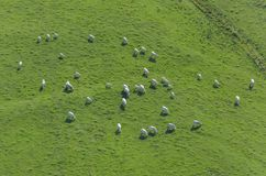 Aerial view on herd of cows Royalty Free Stock Photo