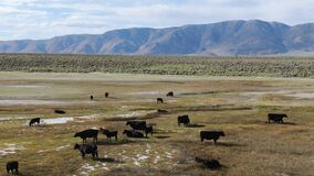 Cows cattle grazing on a mountain pasture next the Lake Crowley