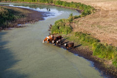 Aerial view of herd of cows at summer green field drinking on th Stock Photos