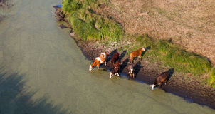 Aerial view of herd of cows at summer green field drinking on th Royalty Free Stock Images