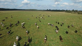 Aerial view of herd of cows at summer green field stock footage