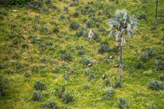 Aerial view of a herd of Elephants. Royalty Free Stock Image