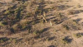Aerial view of giraffes stock video