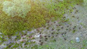 Aerial view of a herd of goats eating on the mountain at sunset. stock video