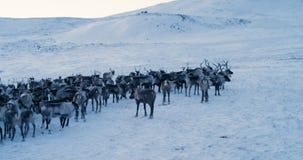 Aerial view of herd of reindeer. Red Epic. Slow motion. 4k. stock footage