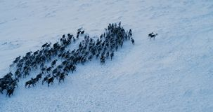Aerial view of herd of reindeer, which ran on snow in tundra. Filmed with the epic red camera. 4K