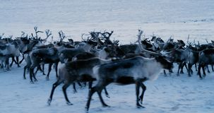 Aerial view of herd of reindeer, which ran on snow in tundra. Red Epic. Slow motion. 4k stock footage