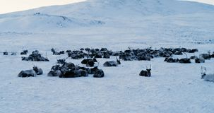 Aerial view of herd of reindeer, which ran on snow in tundra. Red Epic. 4k stock footage