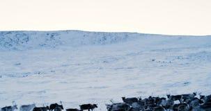 Aerial view of herd of reindeer, which ran on snow in tundra. Red Epic. 4k. Aerial view of herd of reindeer, which ran on snow in tundra. Red Epic. 4k stock video footage