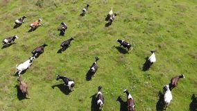 Aerial view of Herd of running cows, stockbreeding. Slow motion stock footage